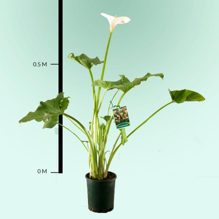 A J Flynn - Arum Lily Zantedeschia Houseplant on