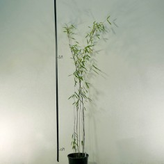 Dwarf Black Bamboo