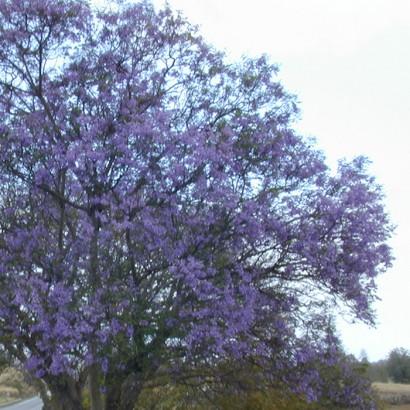 Blue Jacaranda (South African native)