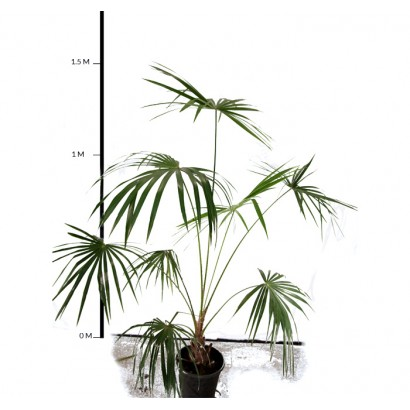 Cabbage Tree Palm