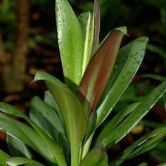 Cordyline Glauca