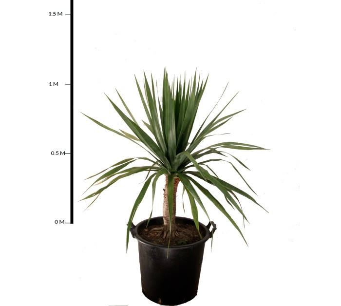 dracaena draco australian seed dracaena draco benefit of plants benefits of planting trees. Black Bedroom Furniture Sets. Home Design Ideas