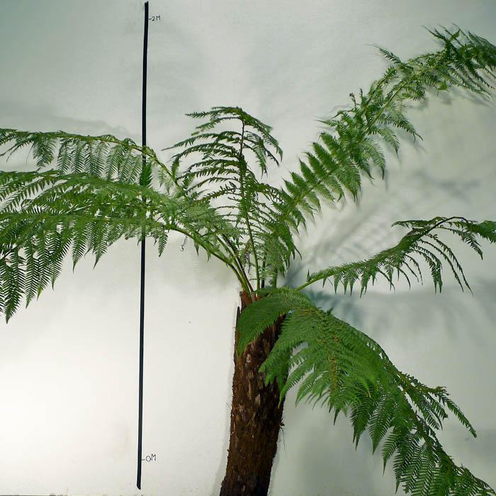 a j flynn dicksonia antarctica tasmanian tree fern. Black Bedroom Furniture Sets. Home Design Ideas