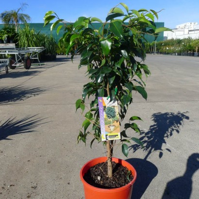 Ficus Midnight Beauty Standard
