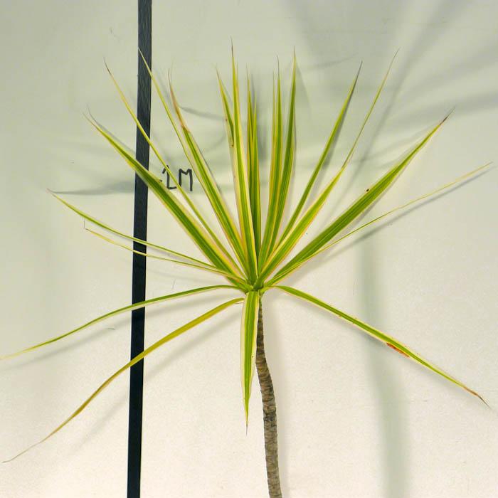 A j flynn dracaena marginata tricolor