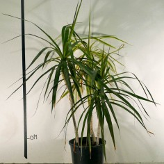 Dracaena Marginata 'Black Knight'