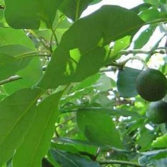 avocado fruit or veggie dwarf fruit trees home depot