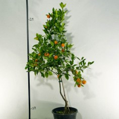 Dwarf Variegated Kumquat