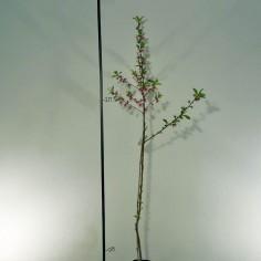 Nectarine 9-15