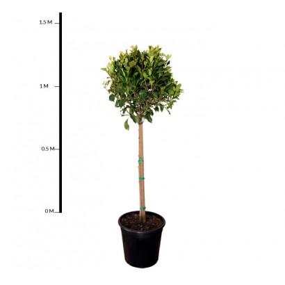 Ficus Emerald Standard