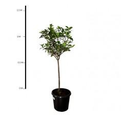 Gardenia 'Florida'