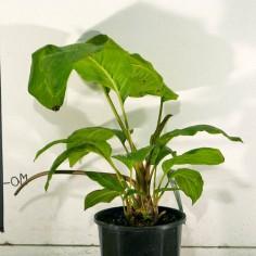 Bat Plant (Black)