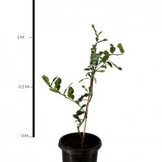 Kaffir Lime (Dwarf)