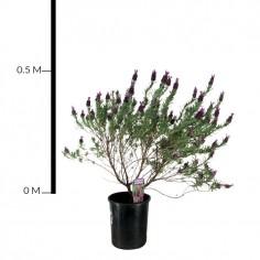 Lavender (Upright)