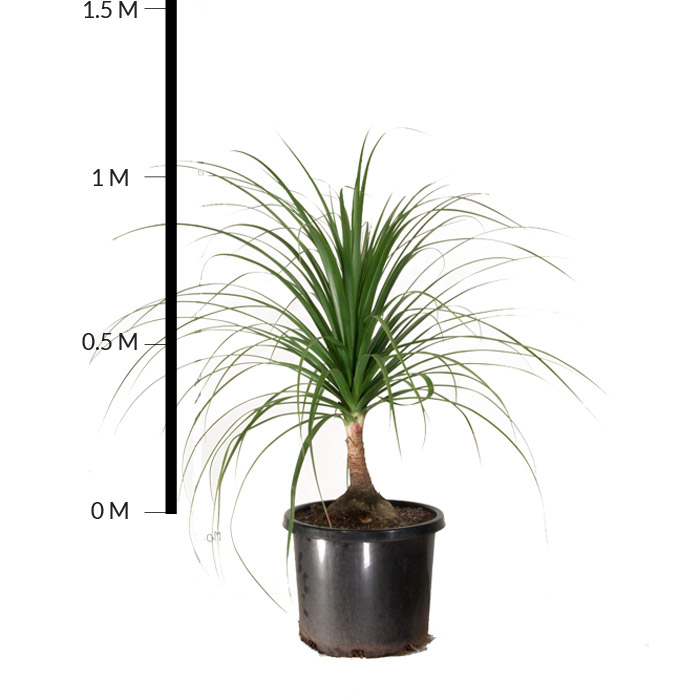 Ponytail Palm Tree Short Hairstyle
