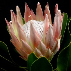 Pink Crown Protea