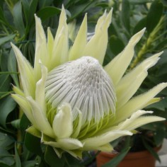 White Crown Protea