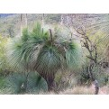 Grass Tree (seed grown)