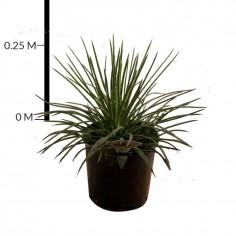 Agave Gemini Flora