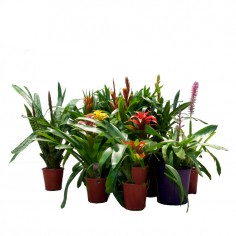 Guzmania 'Midnight'