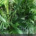 Cascade Palm