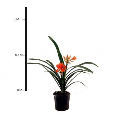 Clivia Lily (Orange)