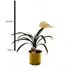 Clivia Lily (Yellow)
