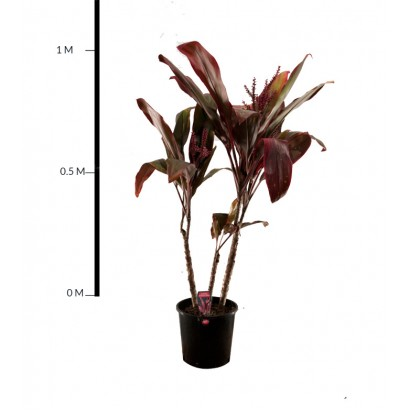 Cordyline Rubra 300mm