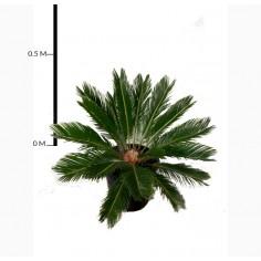 Cycad Sago Palm