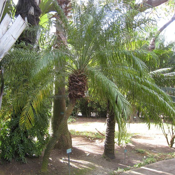 Pygmy Date Palm Tree, Dwarf Date Palm - Phoenix roebelenii - Care Tips