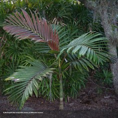 Flame Thrower Palm