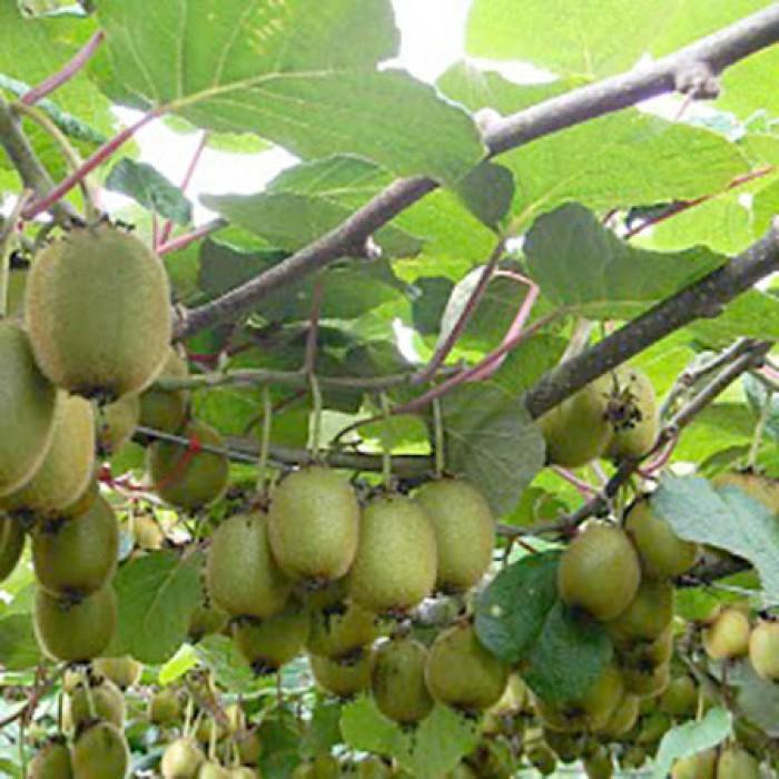 Lovely Male And Female Fruit Trees Part - 13: Kiwi Fruit (Male U0026 Female)