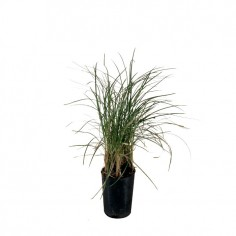 Mondo Grass Bali Stripe