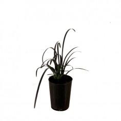 Mondo Grass Black