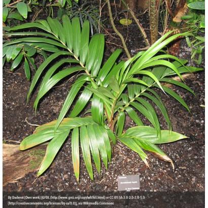 New Caledonian Palm