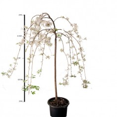 Weeping Cherry 'falling snow'