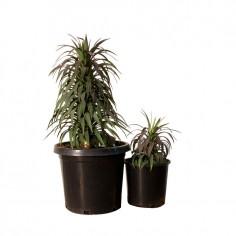Red Dwarf Yucca